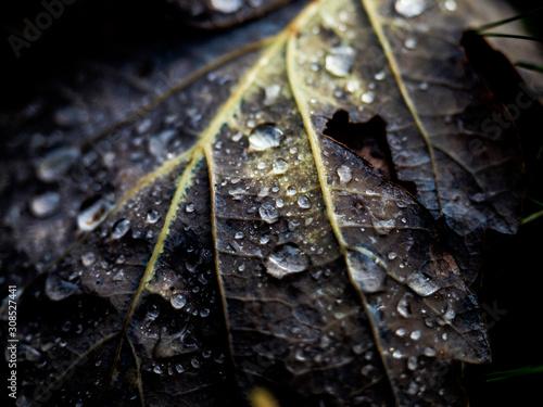 autunno, foglia con gocce d'acqua e brina Billede på lærred