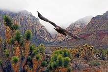 Golden Eagle (Aquila Chrysaetos) Soaring Near Fog-Covered Mountains In Mojave Desert