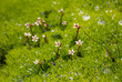 Moos Wassertropfen Blumen Blüten Makro Nahaufnahme grün Island Hochland vulkanisch Lava nass feucht Vegetation leuchtgrün