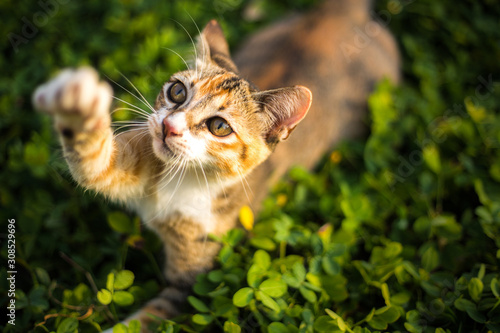 Obraz adorable cat is playing in the yard - fototapety do salonu