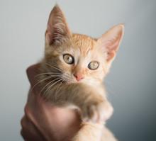 Tabby Kitten On A Hand