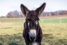 Poitou Donkey (Equus Asinus)