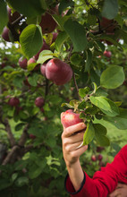 Close Up Of Child's Hand Picking A Red Apple Off Of An Apple Tree.