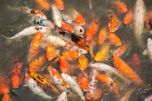A Large School Of Koi Fish Cluster Together.