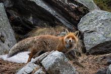 Red Fox (Vulpes Vulpes), Valsa...