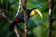 Chestnut-mandibled Toucan Or S...