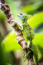 Green Plumed Basilisk Lizard (Basiliscus Plumifrons), Boca Tapada