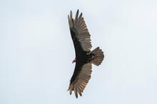 Turkey Vulture (Cathartes Aura...