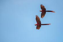 Pair Of Scarlet Macaw (Ara Mac...