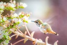 Volcano Hummingbird (Selasphorus Flammula), San Gerardo De Dota