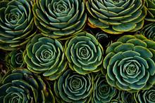 Succulents In The Shape Of Flowers, San Gerardo De Dota