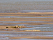 Adult Nile Crocodiles (Crocodylus Niloticus) Basking In The Sun In South Luangwa National Park, Zambia