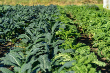 Lots Of Italian And Curly Organic Kale Growing At The Farm