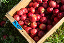 Apples Sit Underneath A Tree At An Orchard In Quechee, Vermont.