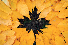 Maple Leaf Figure From Other Leaves
