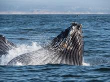 Humpback Whale (Megaptera Novaeangliae), Lunge-feeding In Monterey Bay National Marine Sanctuary, California