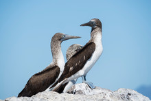 Three Adult Blue-footed Boobies (Sula Nebouxii), On Isla San Marcos, Baja California Sur, Mexico