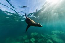 Playful California Sea Lion (Zalophus Californianus), Underwater At Los Islotes, Baja California Sur, Mexico