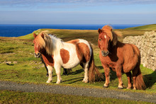 Windswept Shetland Ponies, A World Famous Unique And Hardy Breed, Cliff Tops Of Northmavine, Mainland, Shetland Isles, Scotland