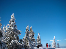 Beautiful Snow Covered Conifer Trees In Sunny Days, Poiana Brasov, Romania