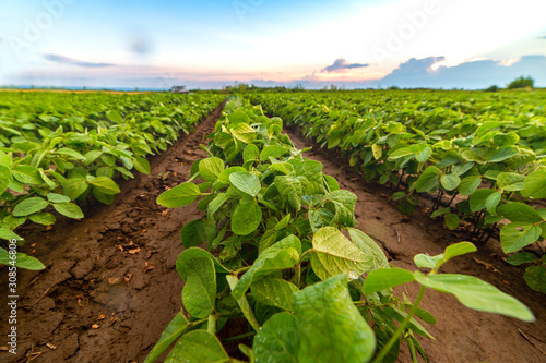 Soybean field ripening at spring season, agricultural landscape Canvas Print