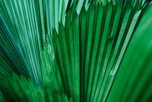 Detail Of Palm Trees, Niquero - Cuba