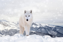 Wolf In A Snow On Winter Backg...