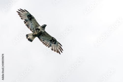 Fotografía The rough legged buzzard/buteo lagopus photographed in flight