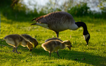 Four Canada Goose Goslings Wit...