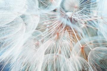 background fluffy dandelion flower, macro photo.