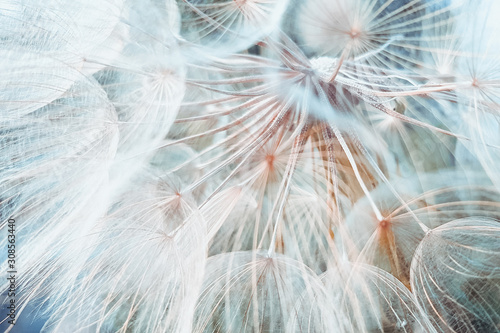 background fluffy dandelion flower, macro photo.