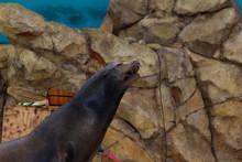 Sea Lion Of Sea Lion Show Full...