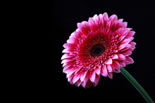 Pink Gerbera Flower With Drops...