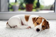 Jack Russel Terrier Puppy Slee...