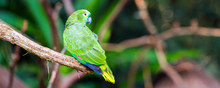Green Parrot Sits On A Branch, Brasil Foz Do Iguazu. With Selective Focus.