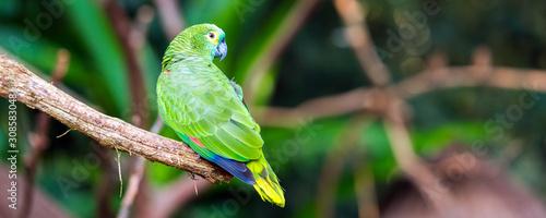 Stampa su Tela Green parrot sits on a branch, Brasil Foz do Iguazu
