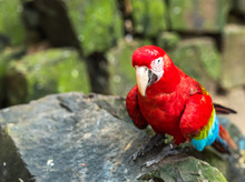Red Parrot-Ara Sits On A Stone...