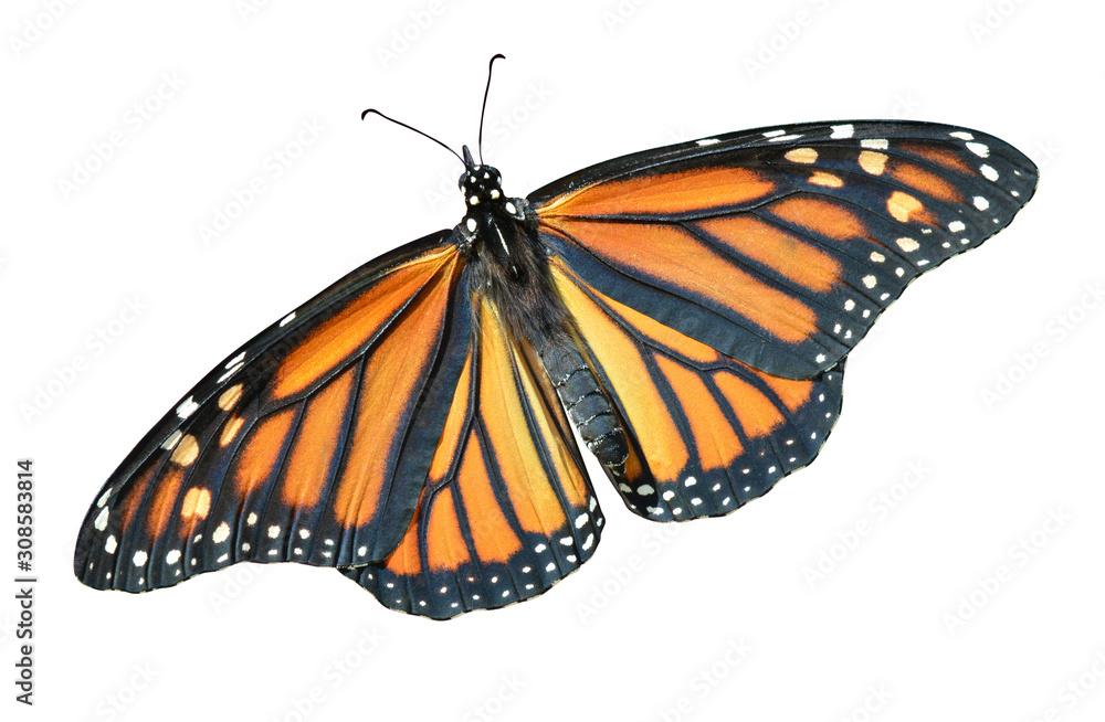 Fototapeta Monarch butterfly isolated Danaus plexippus