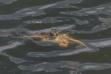 Sea Turtle In The Harbour, Rio...