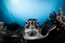A Green Turtle Beautiful And E...