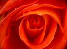 Red Rose Rain Drop Macro