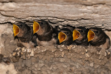 Barn Swallows (Hirundo Rustica...