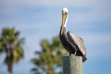 Brown Pelican Along The Matanz...