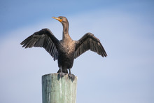 Double-crested Cormorant Stand...
