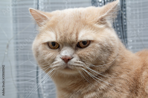 Fotografía red cat stares in surprise on a light background