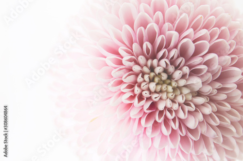 kobiecy kwiatowy tło z różowymi chryzantemami