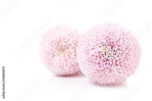 Photo feminine floral background of pink chrysanthemums