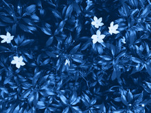 Jasmine Tea And White Blossoming Flowers. Color Of The Year Classic Blue Pantone 2020
