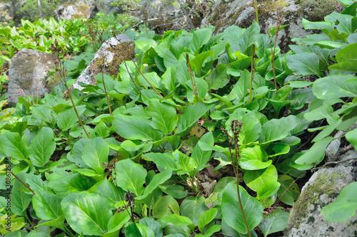 Photo Medicinal herb bergenia (Bergenia pacifica) 19