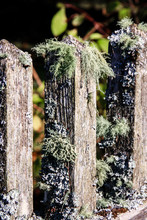 Moss Covered Fence Along The S...